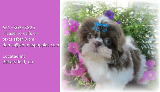 Donna's Puppies com Shih Tzu & Cavalier King Charles Puppies - Home